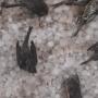 H σφοδρή χαλαζόπτωση σκότωσε δεκάδες πουλιά