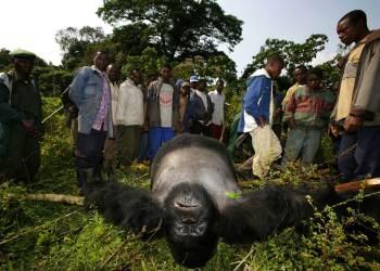 Des vieilles images de gorilles de montage du Kivu détournées