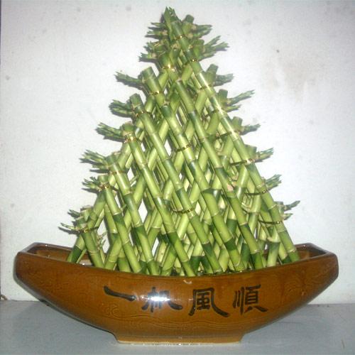 Lucky Bamboo pianta portafortuna  PolliceGreen