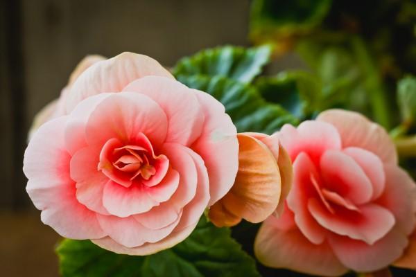 7 fiori primaverili dappartamento da coltivare  PolliceGreen