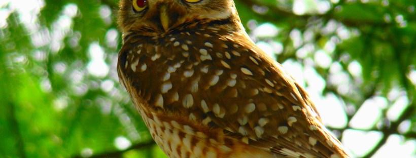An owl, much like the Duolingo mascot!