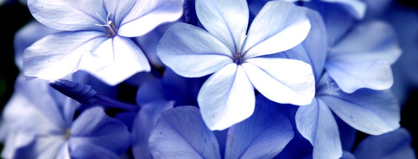 Shrinking violet? You are not alone as a shy linguist! Image of flowers from freeimages.com