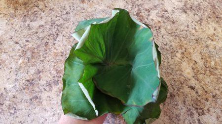 Stacking taro leaves