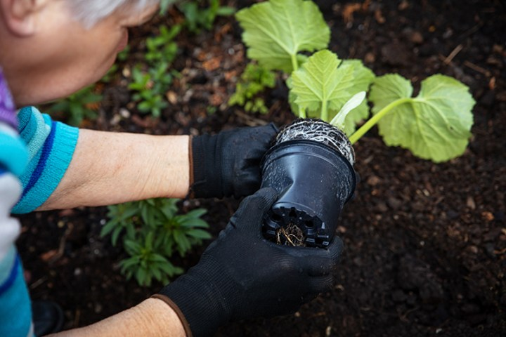 young zucchini plant will be planted in the garden by a female