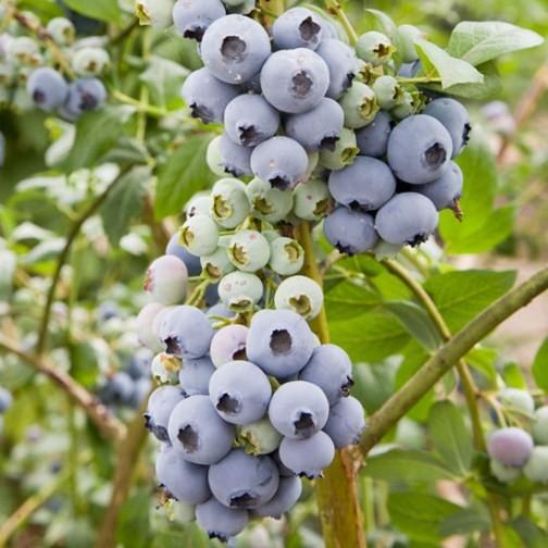 bluecrop blueberry bush