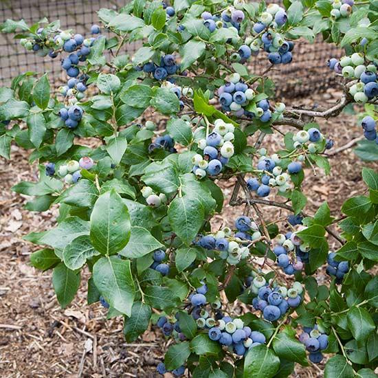blueberry bush northland