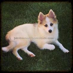 ausgewachsene Pomsky Hunde