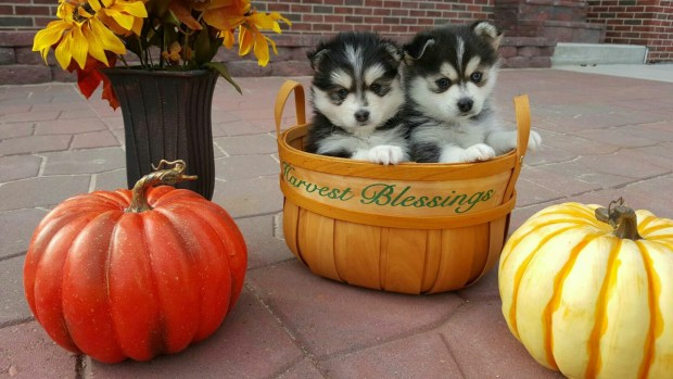 2 Pomsky Puppies in a basket with pumpkins