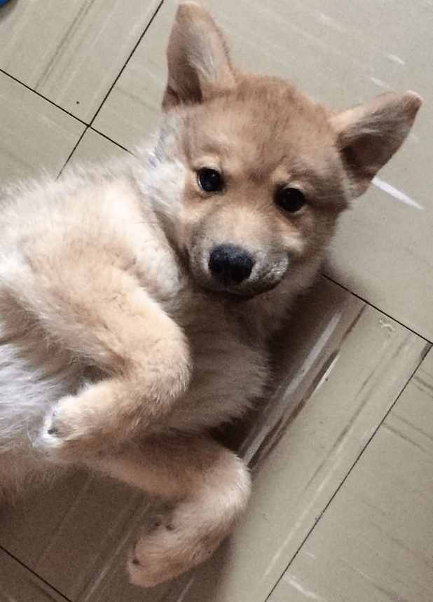 A cute Pomsky Puppy rolled over on the floor