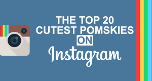 The 20 Cutest Pomsky Dogs on Instagram