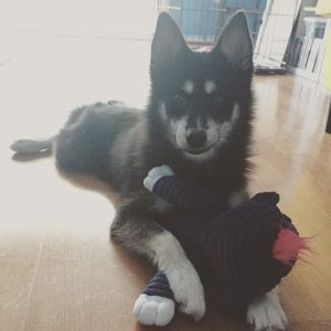 Stuffed animal and rescue Pomsky Alexander Hamilpup foster home