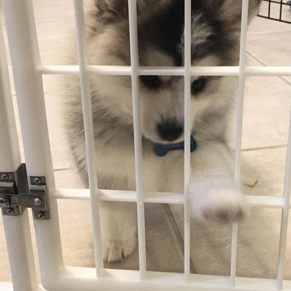 KayathePomsky instagram puppy play pen