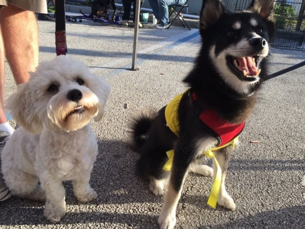 Florida Little Dog rescue Puppy Bowl XIII contestants Nikita and Alexander Hamilpup