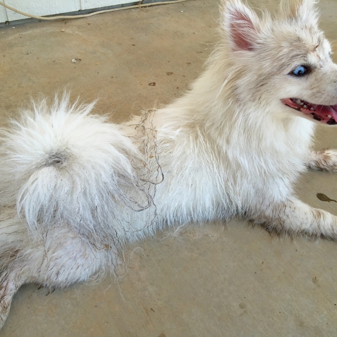 Paris the Pomsky pure white stunner dirty