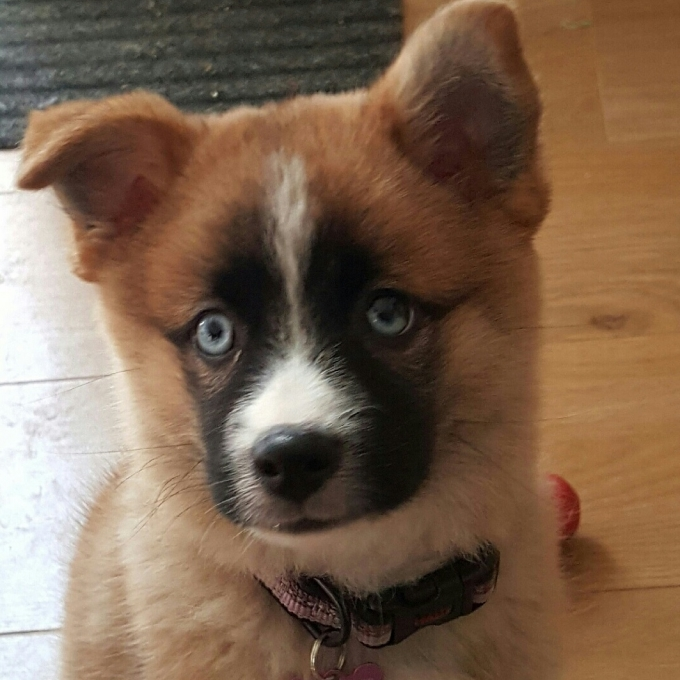 Pomsky Puppy blue eyes photo