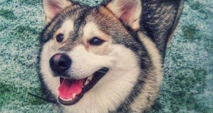 Smiling Pomeranian-Husky Dog