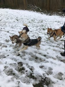 Pomsky play group hosted by Humprys Pomskies UK and Katiebrooke Kennels