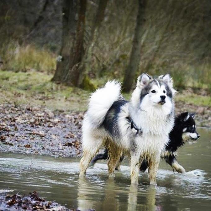 Mowgli protecting Baily Pomeranian Husky