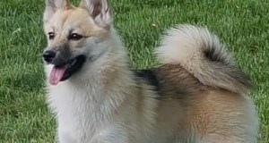 United States Pomsky Pup Pennie Layne