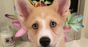 pomeranian husky mix pomskie puppy