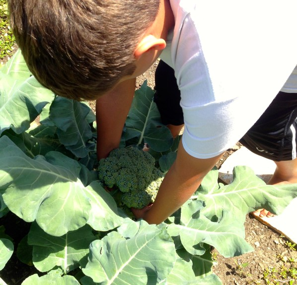 Picking broccoli from the garden