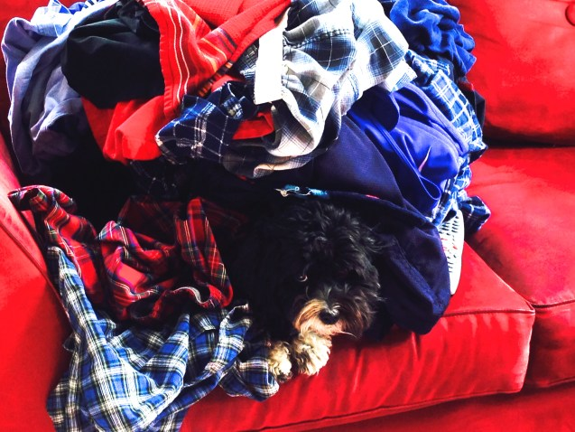 The life of a new blogger: my dog, Tia, sulking under a pile of  laundry