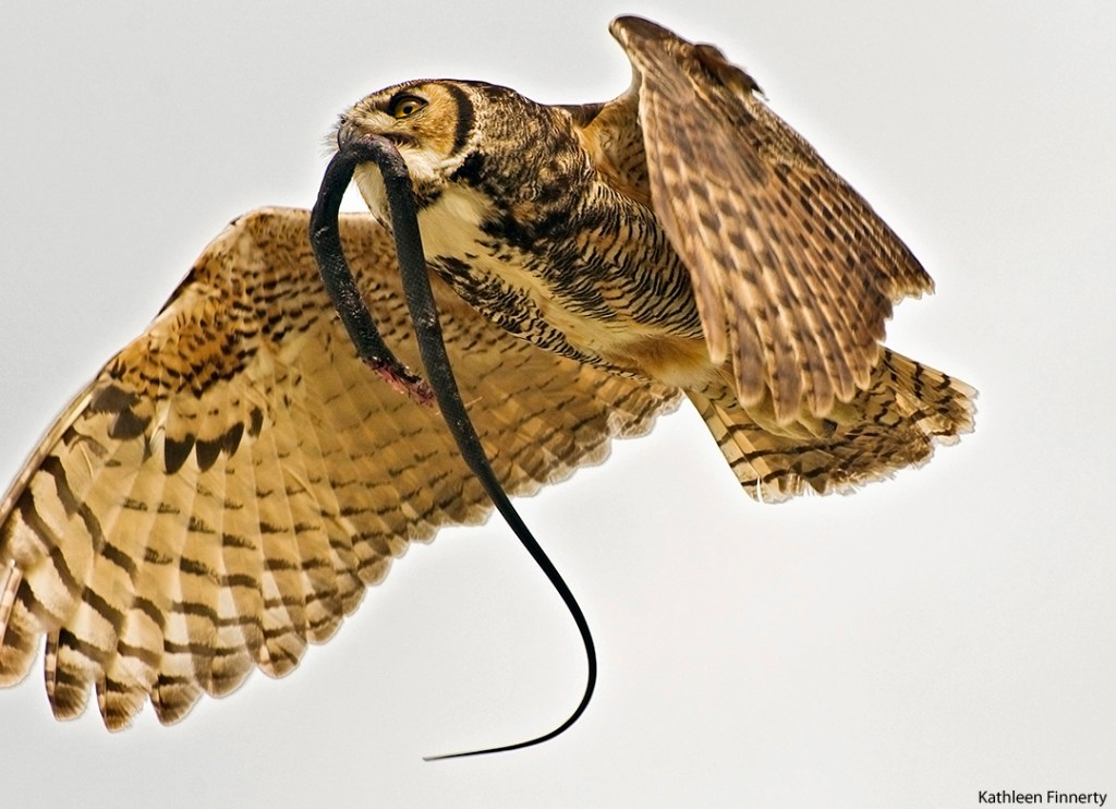(Near a) Farm Living is the Life for Me - Great horned owl carrying its prey