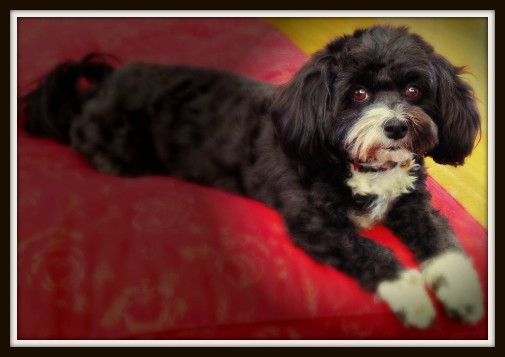 Every day beauty: Tia - Havanese in the spotlight