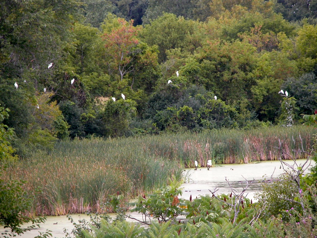 (Near a) Farm Living is the Life for Me - Egrets by the wetlands