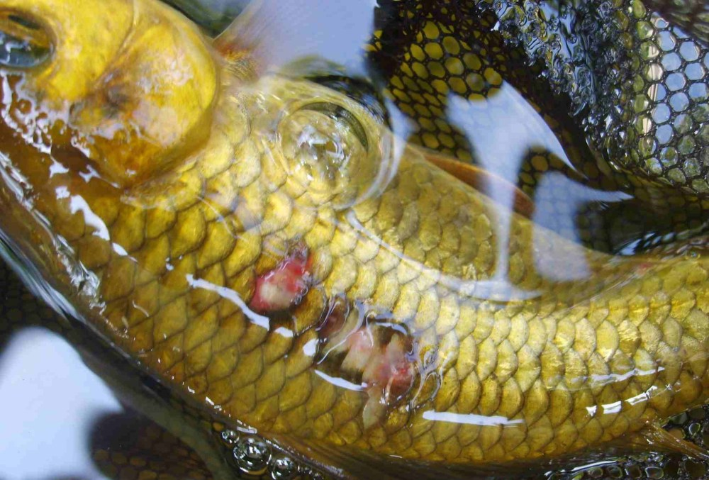 medium resolution of how to treat ulcers in koi and goldfish