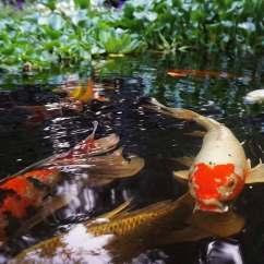 Lotus In Water Plant Diagram 2006 Chevy Colorado Radio Wiring Pond Photos - Hydrosphere Gardens