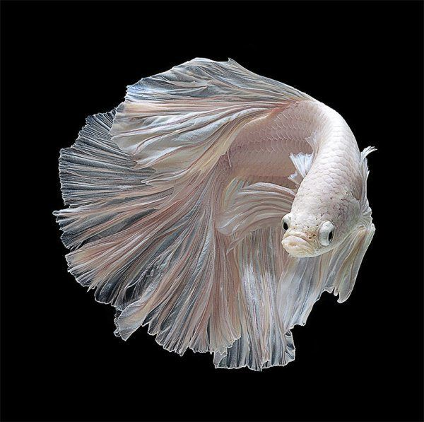 fish 1 Beautiful Bettas – Awesome Fish Photography by Visarute Angkatavanich