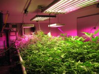 Why Growers Are Choosing LED Grow Lights  Ponds Plus Grow ...