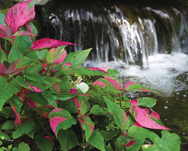 Illuminate your Pond with Shade Loving Plants  POND Trade
