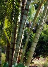 Multi-trunk Palm