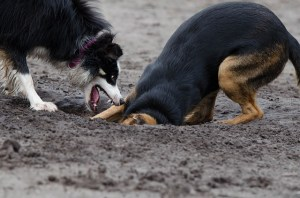 Dogs Digging 640423