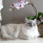 the 7 most affectionate cat breeds list