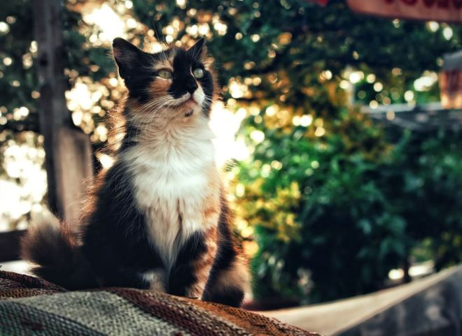 facts about calico cat