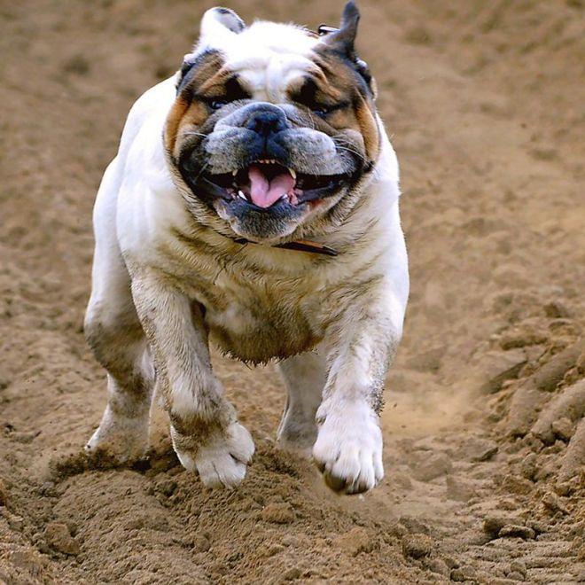 english bulldog profile