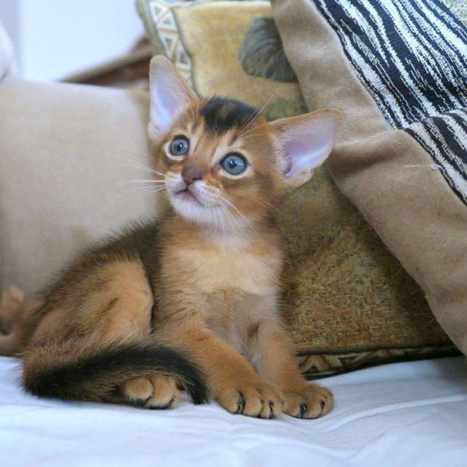abyssinian cat breed information