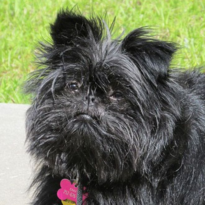 affenpinscher breed information