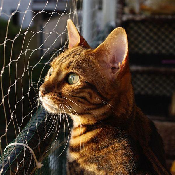 bengal cat breed profile