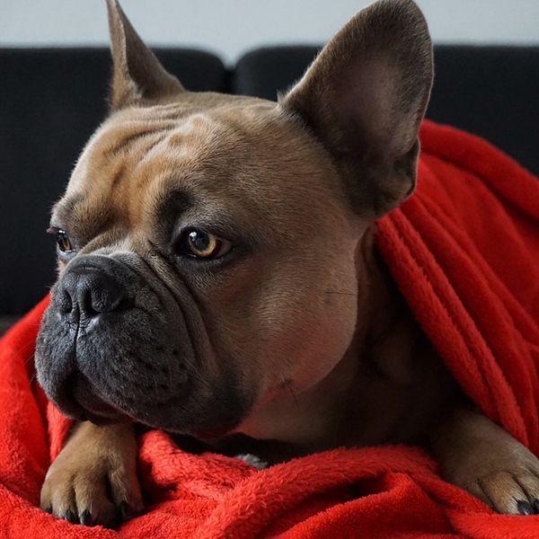 dog breeds for singles