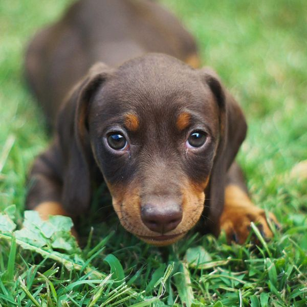 Awesome Names Ideas for your Dachshund Dog