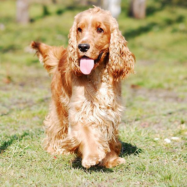 dog breeds originated in the United Kingdom