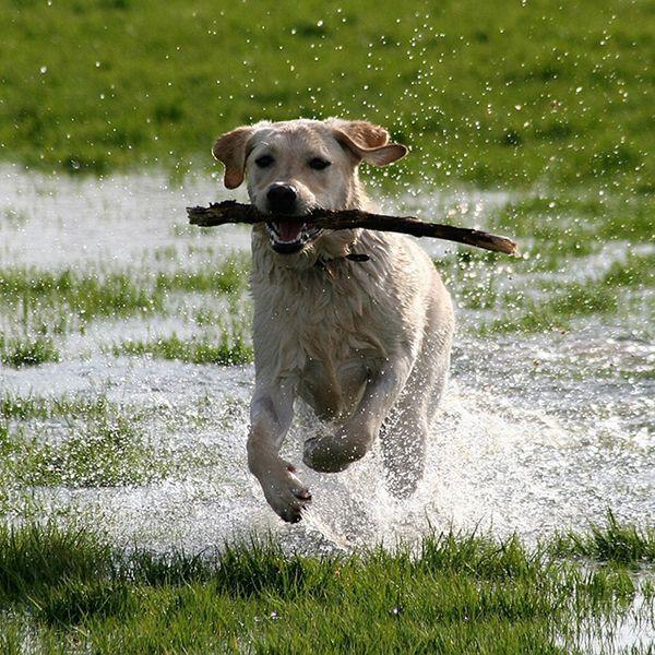 labrador dog breed information