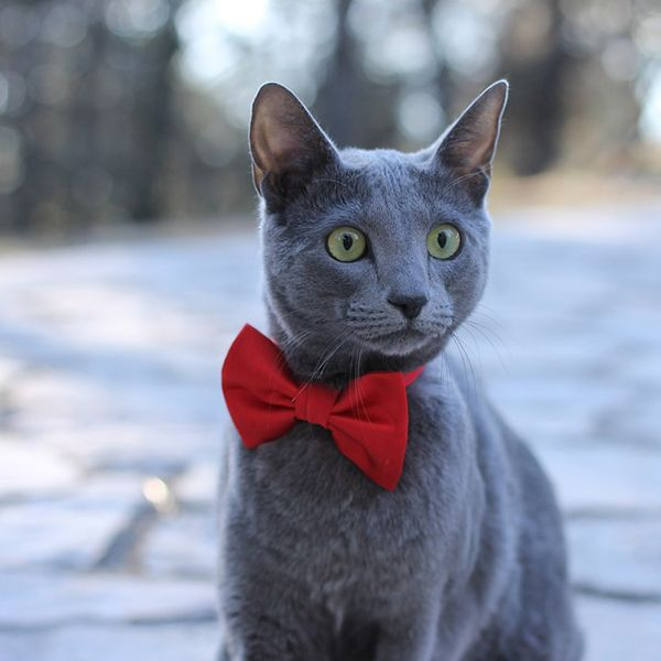 seven laziest cat breeds