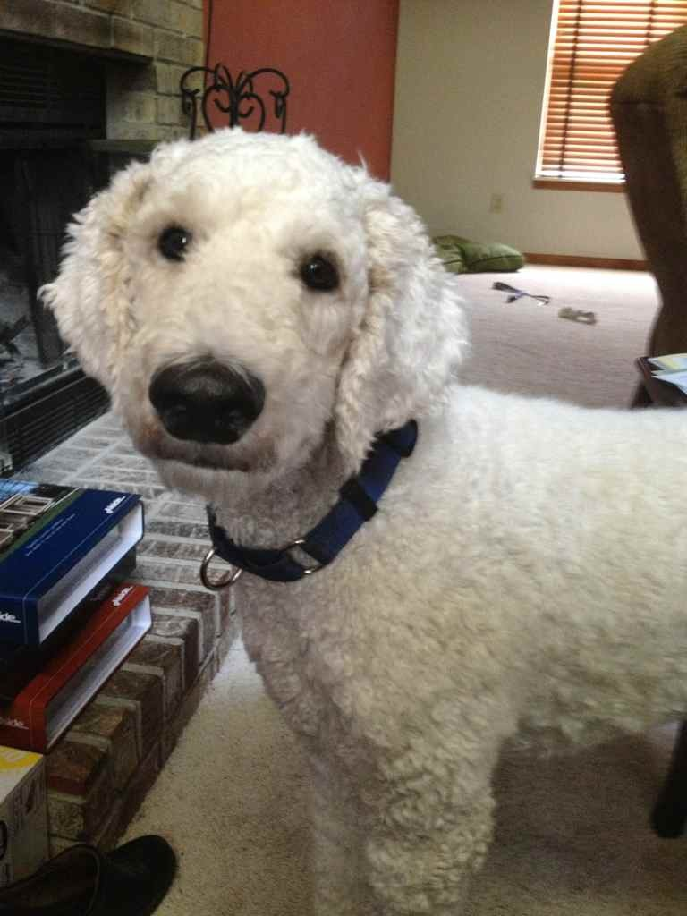 Why Do Most Spoos Have A Shaved Face Page 5 Poodle