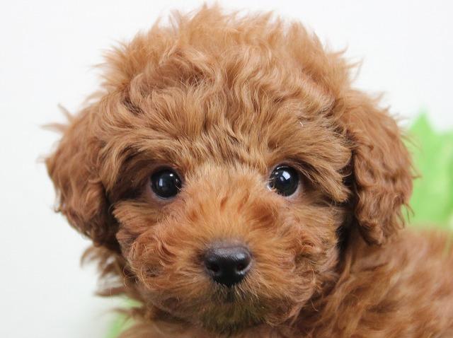 トイプードルの子犬(11月12日生まれ)