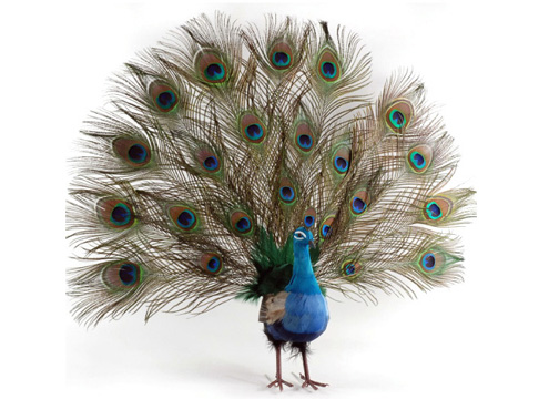 significance of peacock feather on lord krishna